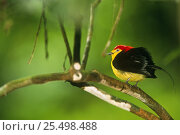 Купить «Male Wire tailed manakin displaying {(Teleonema filicauda) Yasuni NP, Ecuador», фото № 25498488, снято 26 марта 2019 г. (c) Nature Picture Library / Фотобанк Лори