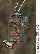 Купить «Great spotted woodpecker {Dendrocopus major} + Blue tits on squirrel proof garden feeder, UK», фото № 25498672, снято 23 июля 2018 г. (c) Nature Picture Library / Фотобанк Лори