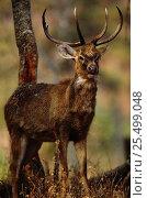 Купить «Eld's deer {Cervus eldi} portrait, Keibul Lamjao Sanctuary, Manipur, India. Known locally as Sangai or Brow-antlered deer. Endemic threatened species», фото № 25499048, снято 21 июля 2018 г. (c) Nature Picture Library / Фотобанк Лори