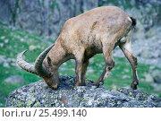 West caucasian tur male {Capra caucasica} Caucasus mountains, Russia. Стоковое фото, фотограф Konstantin Mikhailov / Nature Picture Library / Фотобанк Лори