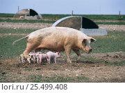 Купить «Outdoor reared Large white hybrid domestic pig sow + piglets {Sus scrofa domestica} Wiltshire, UK», фото № 25499408, снято 26 сентября 2018 г. (c) Nature Picture Library / Фотобанк Лори