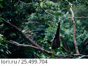 White handed gibbon hanging from branch {Hylobates lar} C. Стоковое фото, фотограф Anup Shah / Nature Picture Library / Фотобанк Лори