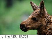 Купить «Moose calf {Alces alces} captive, Boras Zoo, Sweden», фото № 25499708, снято 23 января 2019 г. (c) Nature Picture Library / Фотобанк Лори