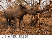 Купить «Black rhino feeding {Diceros bicornis} Matusadona NP, Zimbabwe», фото № 25499880, снято 18 августа 2018 г. (c) Nature Picture Library / Фотобанк Лори