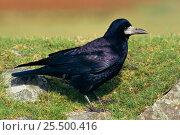 Купить «Rook {Corvus frugilegus}  Devon, UK», фото № 25500416, снято 23 сентября 2018 г. (c) Nature Picture Library / Фотобанк Лори