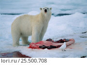 Купить «Polar bear {Ursus maritimus} at seal kill Svalbard, Norway», фото № 25500708, снято 18 июля 2018 г. (c) Nature Picture Library / Фотобанк Лори