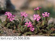 Купить «Campion {Silene sp} in flower, Spain», фото № 25500836, снято 19 февраля 2019 г. (c) Nature Picture Library / Фотобанк Лори