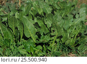 Купить «Beet plants {Beta vulgaris} growing in soil, Spain», фото № 25500940, снято 25 сентября 2018 г. (c) Nature Picture Library / Фотобанк Лори