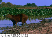 Capybara {Hydrochaeris hydrochaeris} and Jacare caiman {Caiman crocodilus yacare} on water's edge, Pantanal, Brazil. Стоковое фото, фотограф Pete Oxford / Nature Picture Library / Фотобанк Лори