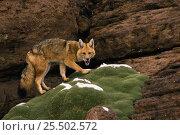 Culpeo fox {Pseudolopex culpaeus} Altiplano, Brazil. Стоковое фото, фотограф Pete Oxford / Nature Picture Library / Фотобанк Лори