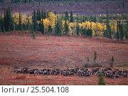 Reindeer migration across tundra {Rangifer tarandus} Kobuk Valley NP, Alaska, USA, North America. Стоковое фото, фотограф Staffan Widstrand / Nature Picture Library / Фотобанк Лори