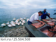 Купить «Fishermen filleting fish with Eastern white pelicans waiting for scraps, Walvis Bay, Namibia», фото № 25504508, снято 21 марта 2018 г. (c) Nature Picture Library / Фотобанк Лори
