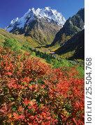 Купить «Dombai-Ulgen peak with Rhododendron luteum plant, Teberdinskii reserve, NW Caucasus, Russia.», фото № 25504768, снято 19 июля 2018 г. (c) Nature Picture Library / Фотобанк Лори
