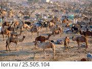 Купить «Dromedary camel market {Camelus dromedarius}, Nagauer, Rajasthan, India», фото № 25505104, снято 16 июля 2018 г. (c) Nature Picture Library / Фотобанк Лори