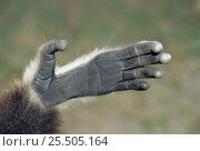 Hand of White handed gibbon {Hylobates lar} Стоковое фото, фотограф Ingo Arndt / Nature Picture Library / Фотобанк Лори