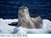 Leopard seal on ice floe {Hydrurga leptonyx}, Summer, Antarctic Peninsula. Стоковое фото, фотограф Martha Holmes / Nature Picture Library / Фотобанк Лори