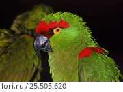 Купить «Thick billed parrot, native to Mexico. Endangered species», фото № 25505620, снято 24 октября 2019 г. (c) Nature Picture Library / Фотобанк Лори