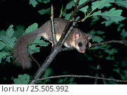 Купить «Fat dormouse in oak tree {Glis glis} Germany», фото № 25505992, снято 25 мая 2019 г. (c) Nature Picture Library / Фотобанк Лори