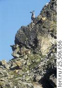 Group of West caucasian tur / goat {Capra caucasica} on rocky cliff, Teberdinskii Nature Reserve, Karachaevo, Cherkessiya, Russia. Стоковое фото, фотограф Konstantin Mikhailov / Nature Picture Library / Фотобанк Лори