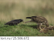 Купить «Carrion crow {Corvus corone} pulling the tail of a Common buzzard {Buteo buteo} as it feeds. Wales, UK», фото № 25506672, снято 16 июня 2019 г. (c) Nature Picture Library / Фотобанк Лори