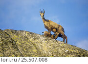 Chamois suckling young on rocks {Rupicapra rupicapra} Gran Paradiso National Park, Italy. Стоковое фото, фотограф Ingo Arndt / Nature Picture Library / Фотобанк Лори