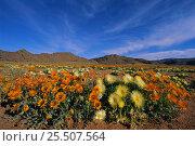 Купить «Namaqualand daisies {Asteraceae} Namaqualand, South Africa», фото № 25507564, снято 19 июня 2019 г. (c) Nature Picture Library / Фотобанк Лори