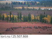 Купить «RF- Caribou herd (Rangifer tarandus) grazing on tundra. Kobuk Valley National Park, Alaska, USA. (This image may be licensed either as rights managed or royalty free.)», фото № 25507868, снято 24 августа 2019 г. (c) Nature Picture Library / Фотобанк Лори