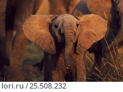Купить «Young African elephant with large ears,  Kenya», фото № 25508232, снято 7 июля 2020 г. (c) Nature Picture Library / Фотобанк Лори