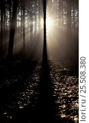 Купить «Sun rays through Spruce forest {Picea abies} Bavaria, Germany», фото № 25508380, снято 17 июля 2018 г. (c) Nature Picture Library / Фотобанк Лори