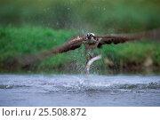 Купить «European osprey with fish in claws {Pandion haliaetus} Finland.», фото № 25508872, снято 21 сентября 2018 г. (c) Nature Picture Library / Фотобанк Лори