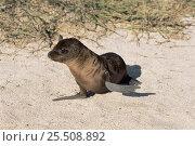 Купить «Californian sealion pup {Zalophus californianus} Galapagos Islands», фото № 25508892, снято 22 марта 2019 г. (c) Nature Picture Library / Фотобанк Лори
