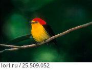 Купить «Wire tailed manakin bird, Yasuni NP, Amazonia, Ecuador», фото № 25509052, снято 22 апреля 2019 г. (c) Nature Picture Library / Фотобанк Лори