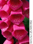 Купить «Common foxglove {Digitalis purpurea} in flower, Fyn, Denmark», фото № 25509992, снято 22 июля 2018 г. (c) Nature Picture Library / Фотобанк Лори