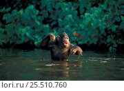 Chimpanzee wading to feeding boat. {Pan troglodytes} captive Brazzaville sanctuary, Congo. Стоковое фото, фотограф Karl Ammann / Nature Picture Library / Фотобанк Лори