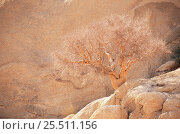 Купить «Leafless tree in desert {Commiphora glaucescens} Spitzkoppe, Namibia», фото № 25511156, снято 19 июля 2018 г. (c) Nature Picture Library / Фотобанк Лори