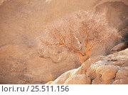 Купить «Leafless tree in desert {Commiphora glaucescens} Spitzkoppe, Namibia», фото № 25511156, снято 26 апреля 2018 г. (c) Nature Picture Library / Фотобанк Лори