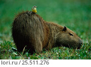 Capybara {Hydrochoerus hydrochaeris} with Cattle tyrant bird on back, Brazil. Стоковое фото, фотограф Staffan Widstrand / Nature Picture Library / Фотобанк Лори