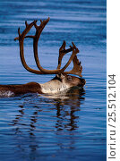 Caribou migration male crossing river {Rangifer tarandus} Kobuk Valley NP, Alaska, USA. Стоковое фото, фотограф Staffan Widstrand / Nature Picture Library / Фотобанк Лори