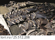 Купить «Sharks fins and Sea cucumbers drying, Banda Island, Indonesia», фото № 25512208, снято 16 июля 2018 г. (c) Nature Picture Library / Фотобанк Лори
