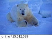 Купить «Polar bear {Ursus maritumus} lying on snow, Churchill, Manitoba, Canada», фото № 25512588, снято 19 сентября 2019 г. (c) Nature Picture Library / Фотобанк Лори