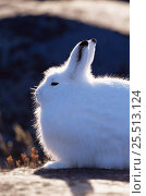 Купить «Side profile of Arctic hare {Lepus arcticus} backlit fur, Churchill, Manitoba, Canada», фото № 25513124, снято 22 мая 2018 г. (c) Nature Picture Library / Фотобанк Лори