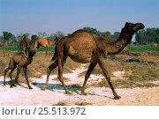 Купить «Dromedary camel with young {Camelus dromedarius} Rajasthan, India», фото № 25513972, снято 16 июля 2018 г. (c) Nature Picture Library / Фотобанк Лори