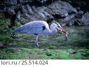Купить «Great blue heron {Ardea herodias} eating marine iguana, Fernandina Island, Galapagos», фото № 25514024, снято 23 марта 2019 г. (c) Nature Picture Library / Фотобанк Лори