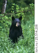 Black bear juvenile (Ursus americanus) Kabetogama SF, Minnesota, USA. Стоковое фото, фотограф Thomas Lazar / Nature Picture Library / Фотобанк Лори