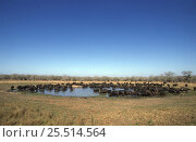 Купить «Large herd of African buffalo drinking at waterhole (Syncerus caffer) Kruger NP, South Africa», фото № 25514564, снято 26 февраля 2020 г. (c) Nature Picture Library / Фотобанк Лори