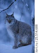 Купить «European lynx in snow {Lynx lynx} captive Sweden, Europe.», фото № 25514688, снято 19 сентября 2019 г. (c) Nature Picture Library / Фотобанк Лори