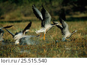 Купить «Bar Headed Geese landing in water {Anser indicus} Bharatphur, India», фото № 25515540, снято 20 июля 2018 г. (c) Nature Picture Library / Фотобанк Лори