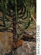 Rock hyrax (Procavia capensis) under Euphorbia plant. Zimbabwe, Southern... Стоковое фото, фотограф John Cancalosi / Nature Picture Library / Фотобанк Лори