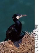 Купить «Common cormorant {Phalocrocorax carbo} at nest, UK, Europe.», фото № 25515708, снято 19 августа 2018 г. (c) Nature Picture Library / Фотобанк Лори