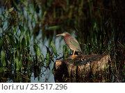 Купить «Striated heron at water's edge, Florida USA», фото № 25517296, снято 5 июля 2020 г. (c) Nature Picture Library / Фотобанк Лори